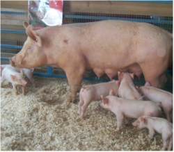 Swine at the county fair